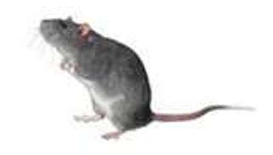Recognize Mouse Infestations