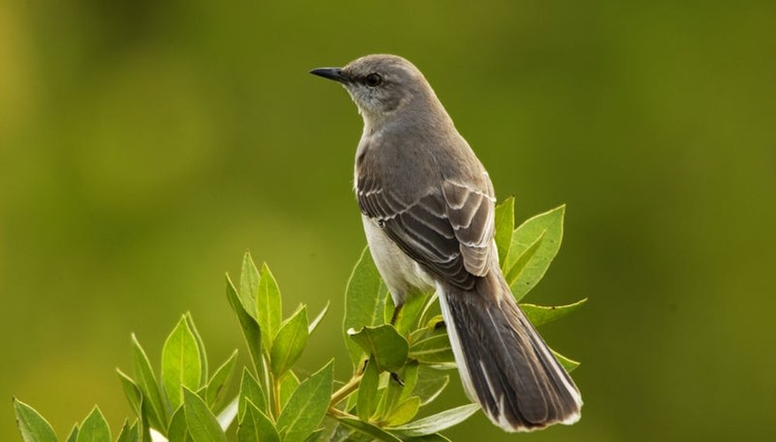 Attract Mockingbirds
