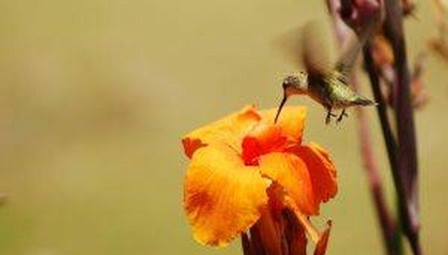 How Do Hummingbirds Help Pollination?