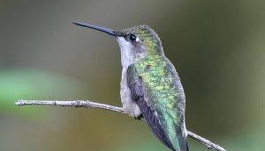 How Do Hummingbirds Mate?