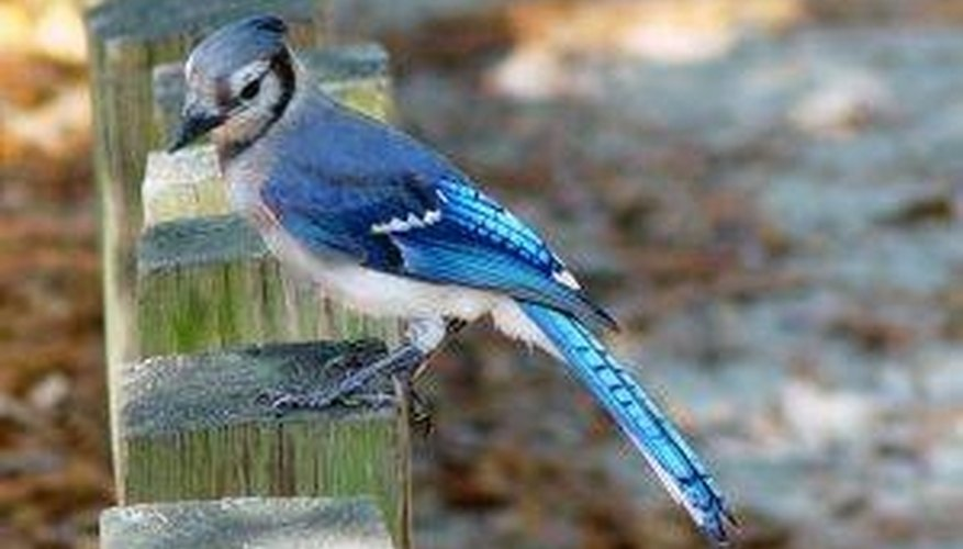 How Do Blue Jays Mate?