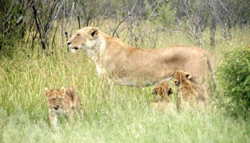 How Do Lions Give Birth?