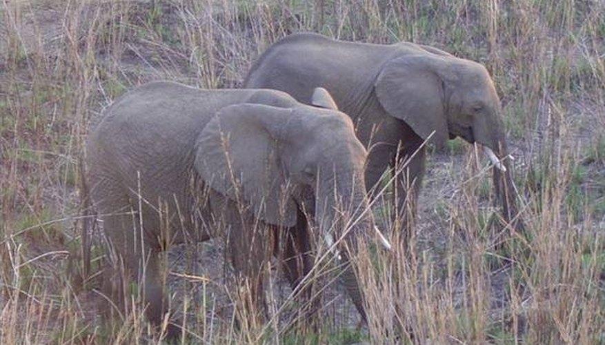 How Do Elephants Behave?
