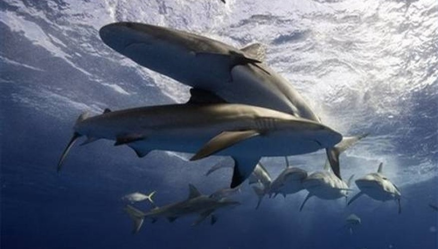 How Do Sharks Attract Mates?