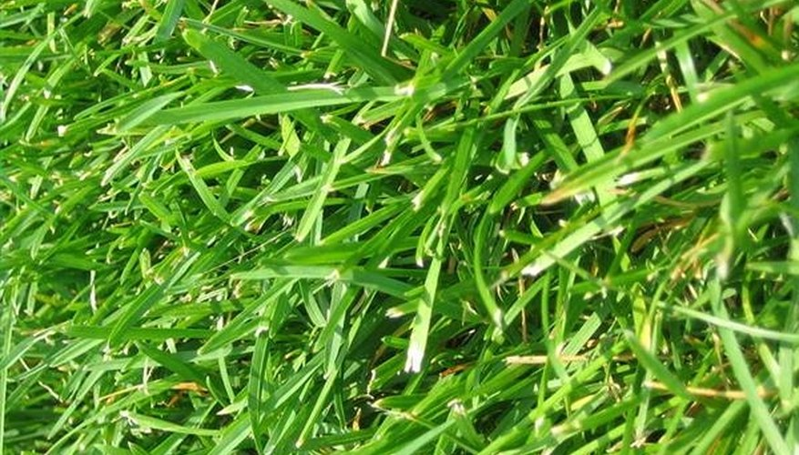 Why Add Sugar to Grass Seeds?