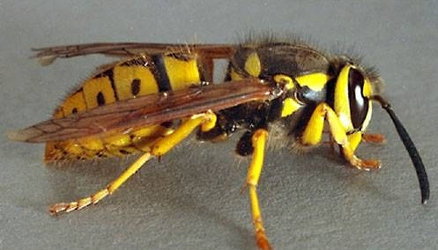The Difference Between Wasps and Bees