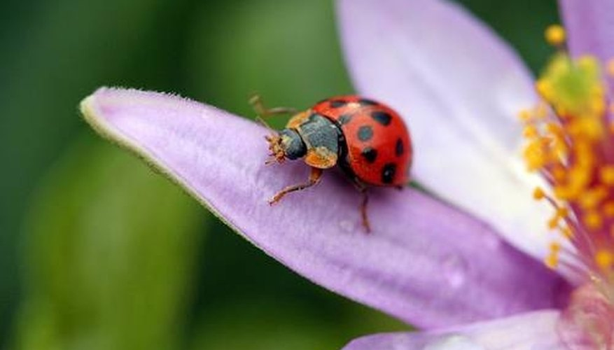 How Does a Ladybug Fly?