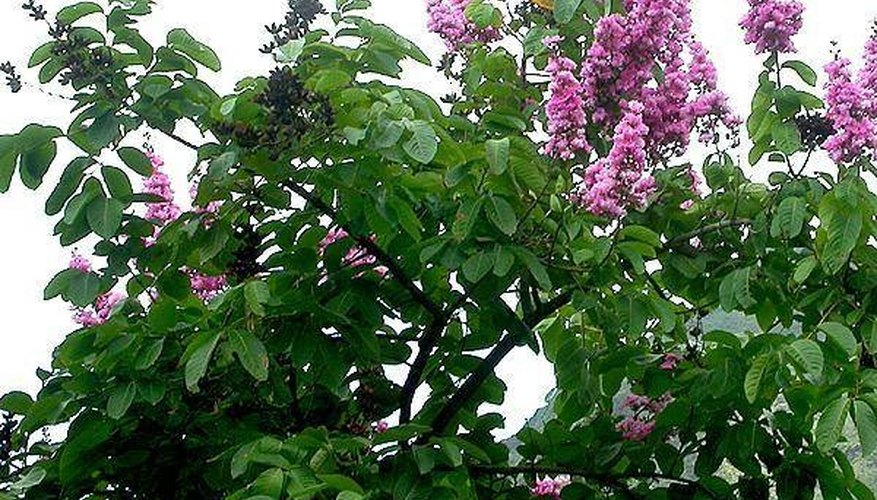 What Is Banaba Leaf?