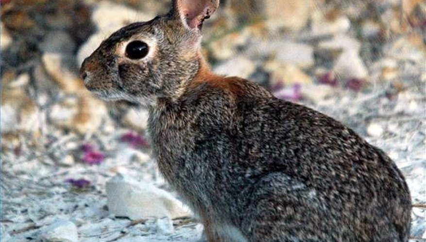 About Wild Rabbits
