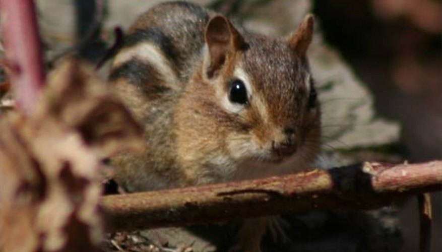 About Chipmunks