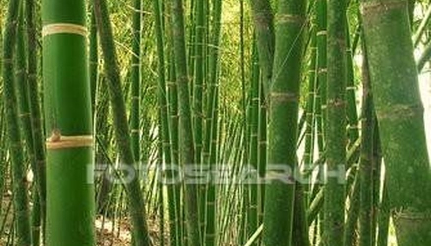 Grow Bamboo in the Shade