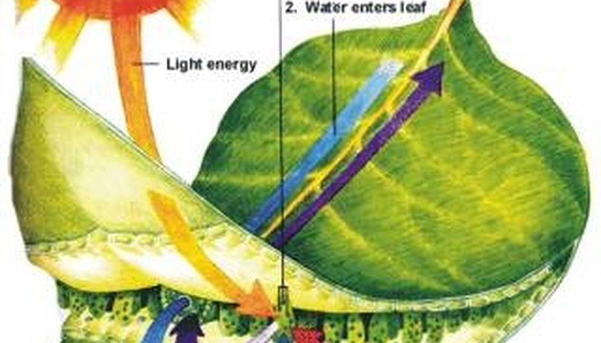 How Plants Use Sunlight Energy to Make Food