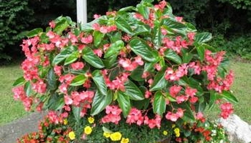 About Angel Wing Begonias