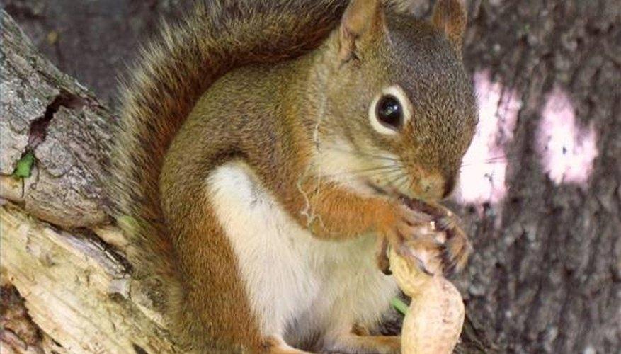 Squirrel munching peanut