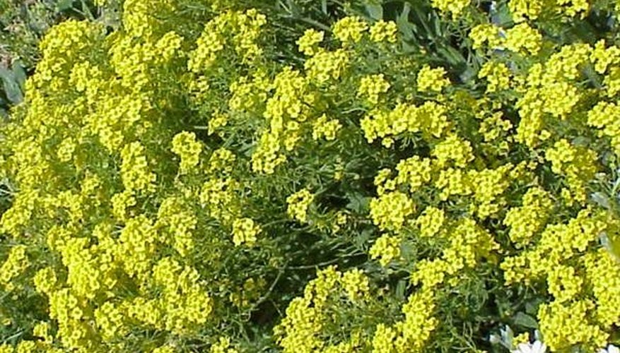 Plant Alyssum From Seeds