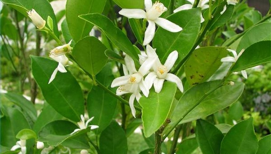Calamondin flowers
