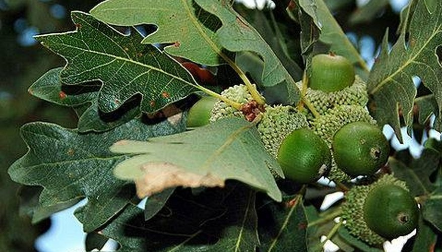 About Oak Wood