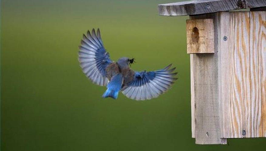 Bluebird returns home