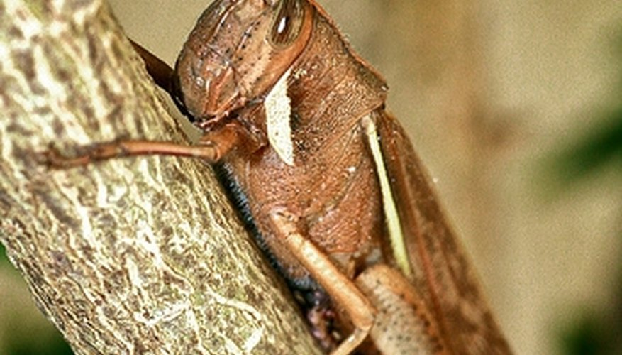 How Do Grasshoppers Reproduce?