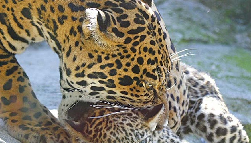 How Do Jaguars Care For Their Babies
