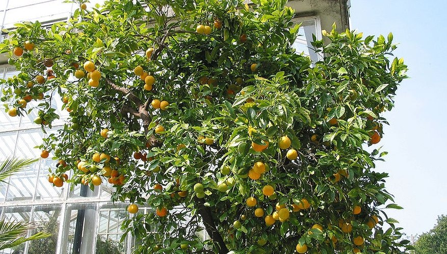 Orange tree with fruit