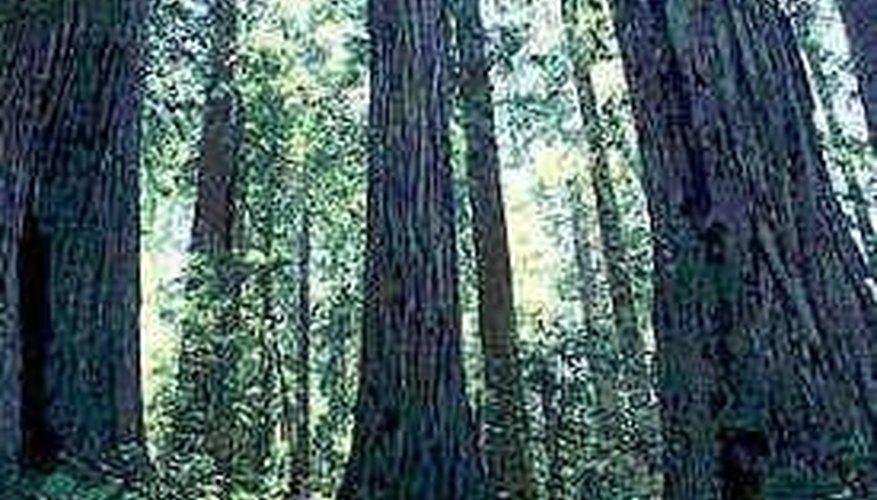 Cedar Vs. Western Cedar