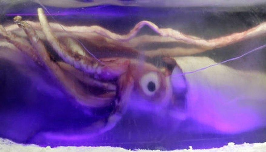 http://en.wikipedia.org/wiki/File:Giant_squid_melb_aquarium03.jpg