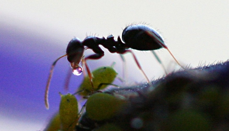 An ant collecting honeydew.