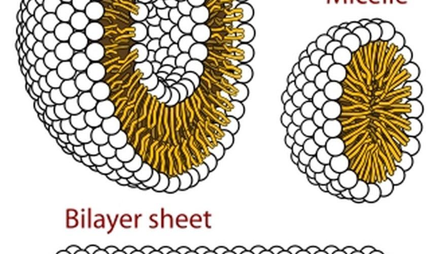 Phospholipid membranes, Wikipedia.