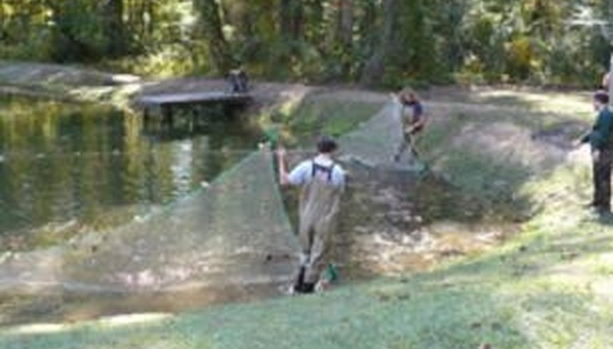 At harvest time, fish are netted from the entire pond.