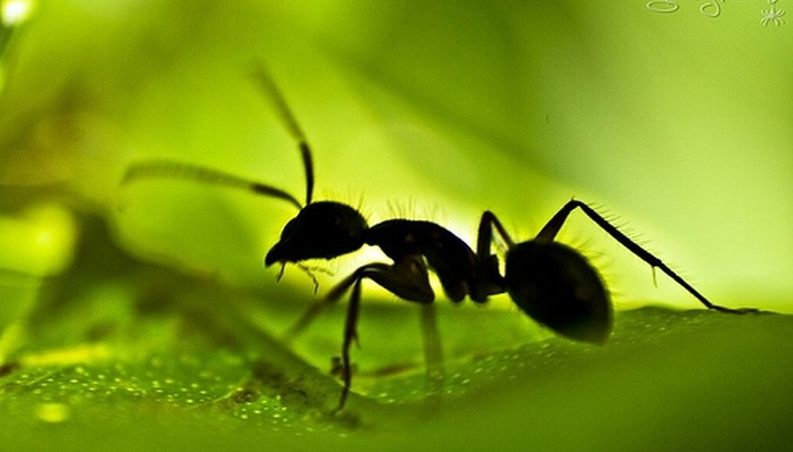 Kill ants with an easy household solution.