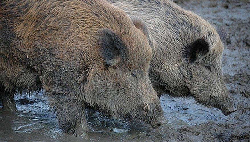 The Razorback Hog's Natural Habitat