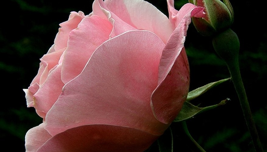 A pink rose has a great deal of meaning.