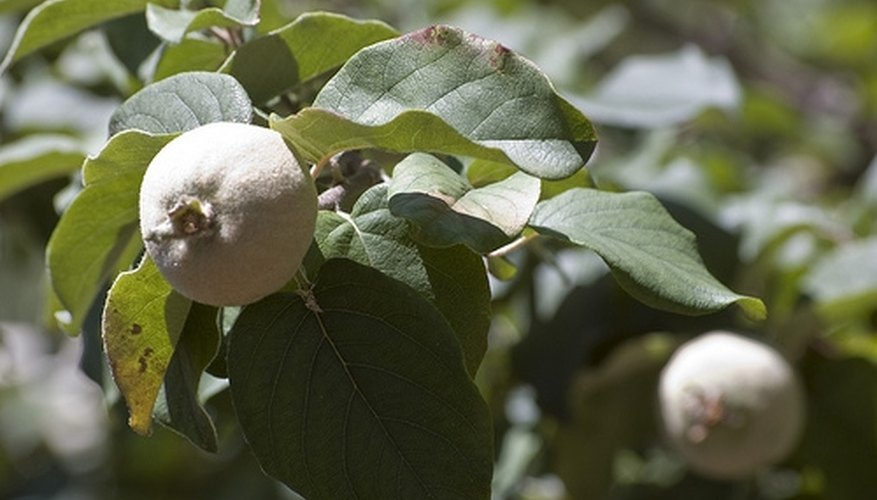 The quince is closely related to the apple and the pear.