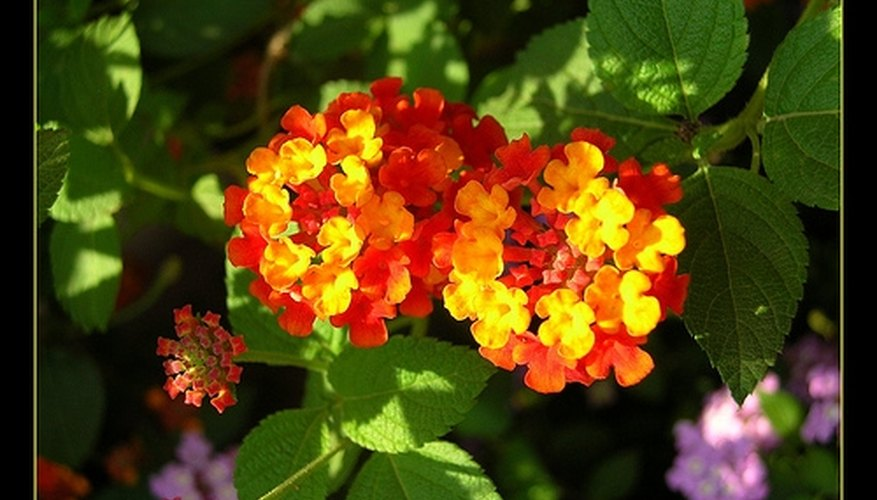 Lantana flowers come in many colors.
