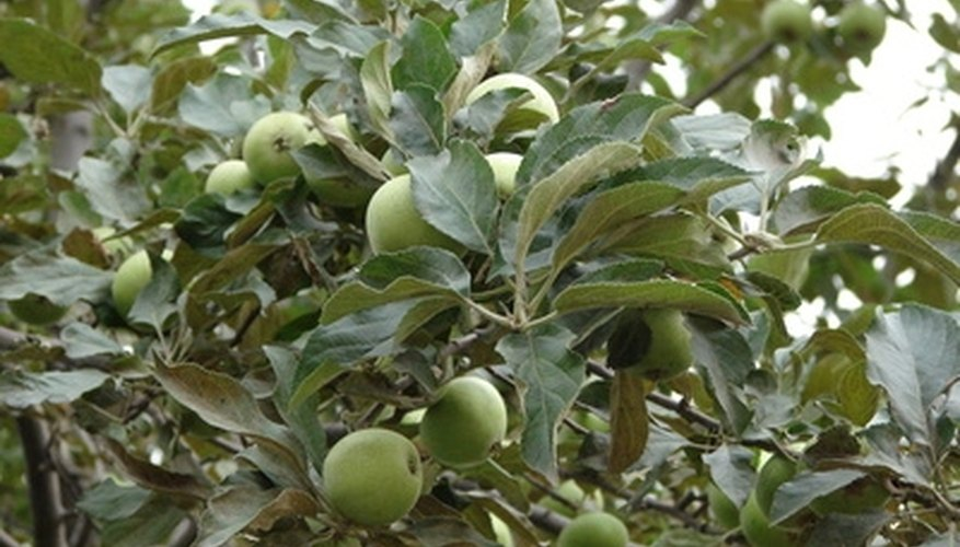 A fruit-bearing apple tree can thrive in New Jersey's climate.