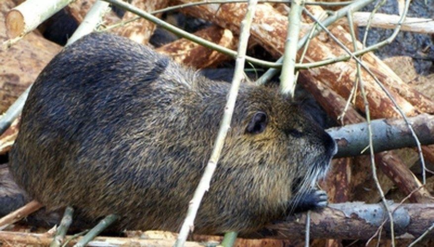 How to Prepare Beaver Skins