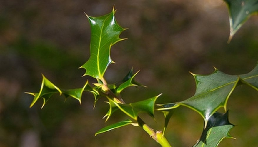 Leaves of holm oak (encina in Spanish)