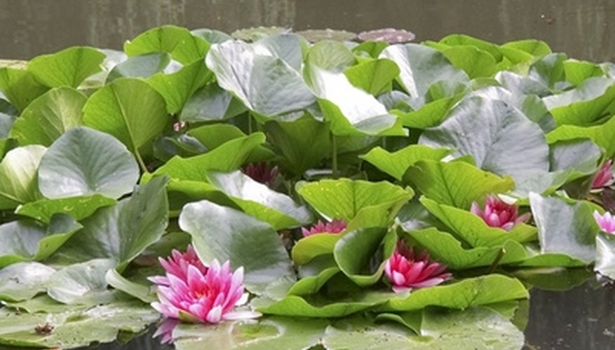 Lily pads are not hard to remove.