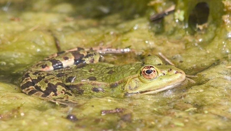 Frog in a pond moss mat