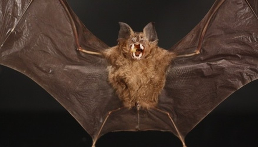 Bats can be a nuisance in the home.
