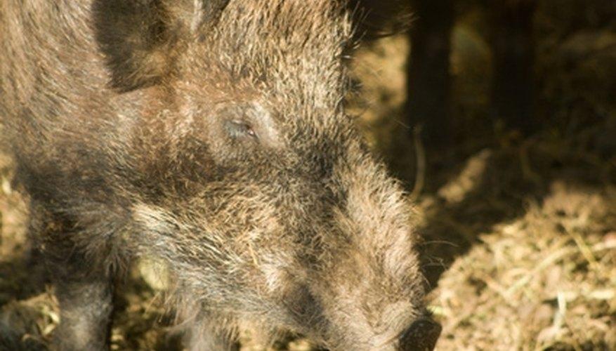 Hog Hunting in Amarillo, Texas