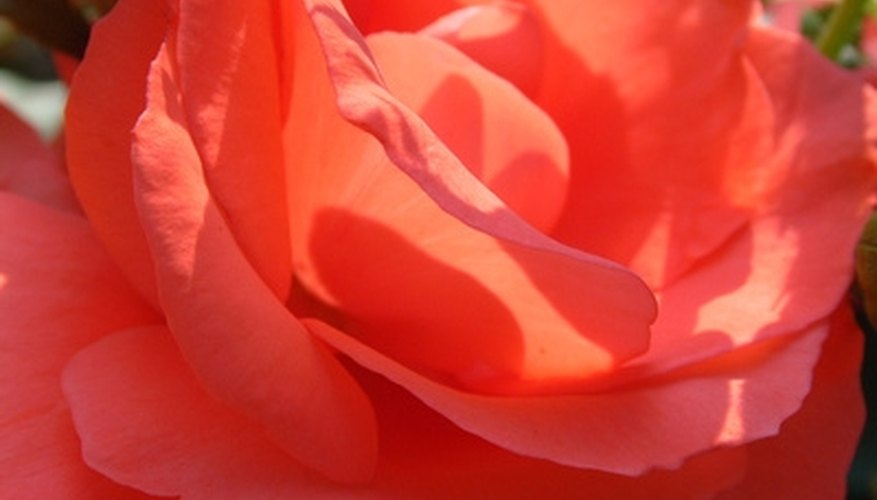 Peach-colored roses are associated with feelings of gratitude and appreciation.