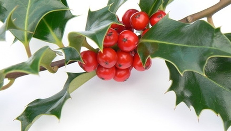 An example of American holly.