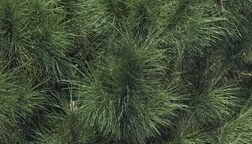 The mugo pine is a very dense pine tree.