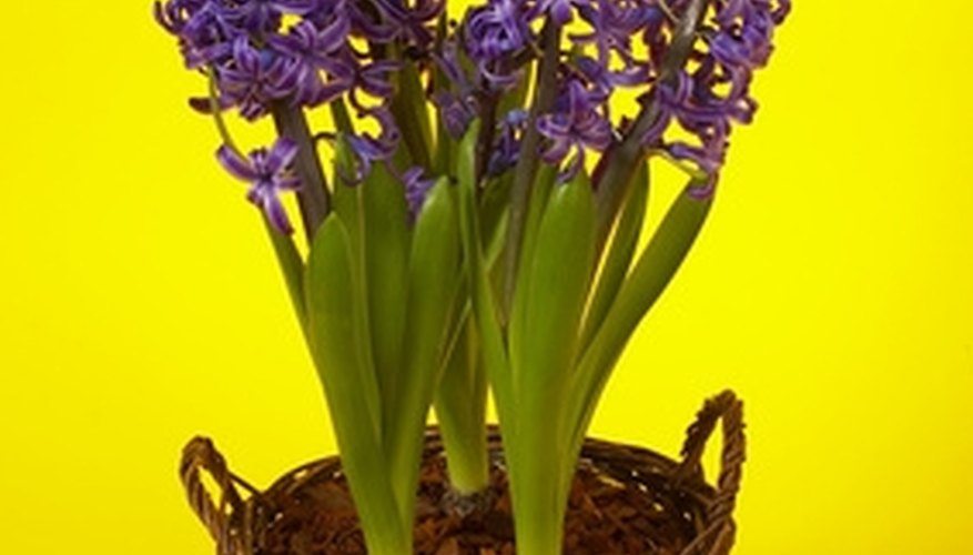 Plant hyacinth indoors early for late winter blooms.