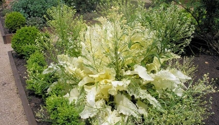 Horseradish can dominate an herb garden.