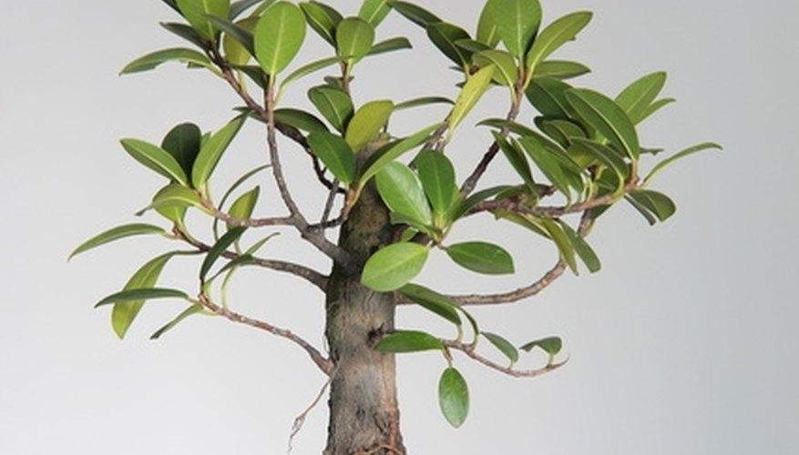 Diffe Kinds Of Bonsai Trees