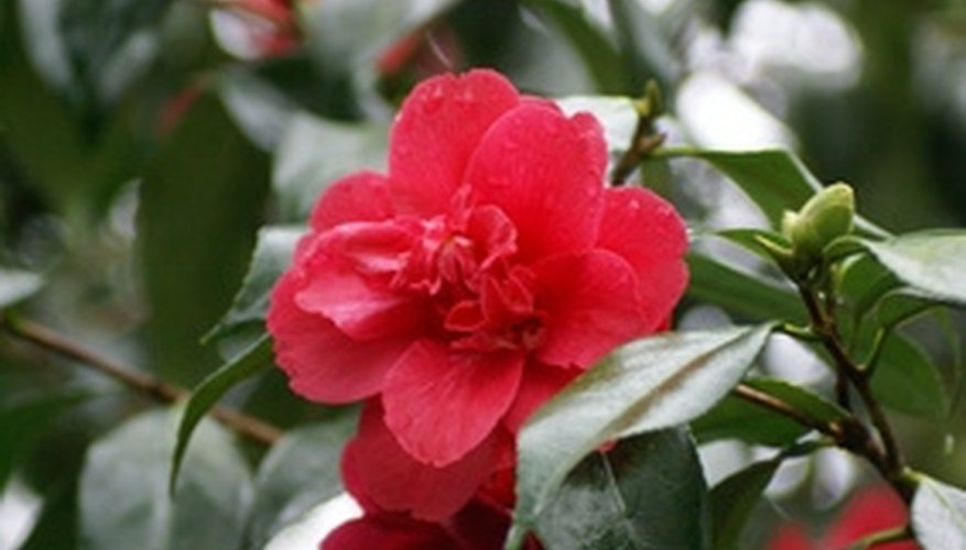 Some types of camellias bloom in winter.