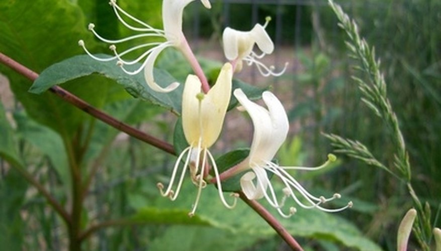 Japanese honeysuckle shows off its dramatic white blooms.